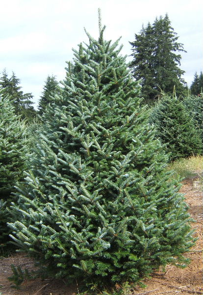 Trees Holmes Hollow Christmas Tree Farm